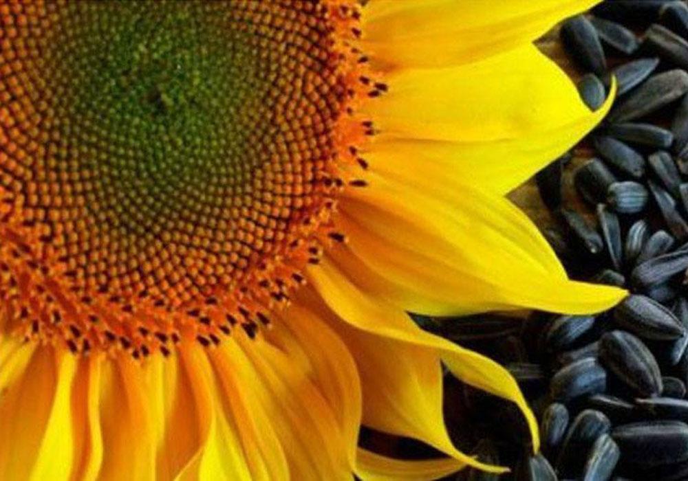 მზესუმზირის მოყვარულებმა ეს უნდა იცოდეთ!